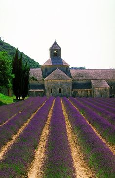 Lavender leading to Abbaye de Senanque near Gordes, Provence, France Lavender Fields France, The Places Youll Go, Places To See, Beautiful World, Beautiful Places, Harvest Day, Belle France, Valensole, Provence France