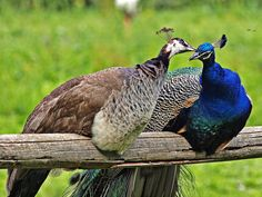 - Your place or mine? Farm Animals, Animals And Pets, Funny Animals, Cute Animals, Pretty Birds, Beautiful Birds, Animals Beautiful, Female Peacock, Bird Breeds
