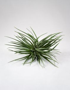 The Tillandsia Stricta Air Plant is known for its bright pink flowers and deep green to purple, densely clustered leaves. We select from the 'Gigante' and 'Black Beauty' cultivars, which stand alone o