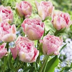 Tulipa  Angelique has beautiful blush pink, fully double blooms. Often considered the best double available. Double tulips have long lasting blooms, they slowly unravel the layers of delicate petals into what can only be described as a profusion of colour. They prefer a full...
