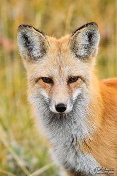 """Portrait of a Fox"" by Bill Singleton, via 500px; Yellowstone National Park, Wyoming"