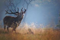 Photograph of a stag protecting his hareem in autumn, Richmond Park in London. View and buy professional photographs, prints and canvases from this amazing park in Richmond, Surrey, UK. Stuff To Do, Things To Do, Richmond Park, Great Days Out, Red Deer, London Photos, Surrey, Animal Photography, Places To Visit