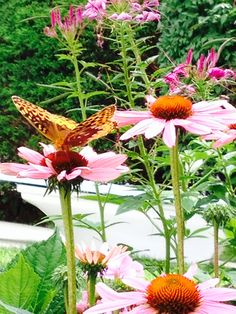 Butterfly on Coneflower, 2