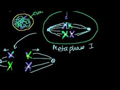 Meiosis phases explained by Sal (Khan Academy): http://www.youtube.com/watch?v=ijLc52LmFQg