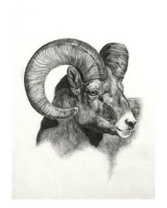 Ram, graphite on paper by Heather Theurer is part of Sheep drawing - Pencil Drawings Of Animals, Animal Sketches, Art Sketches, Wildlife Paintings, Wildlife Art, Animal Paintings, Elk Drawing, Sheep Drawing, Ram Tattoo