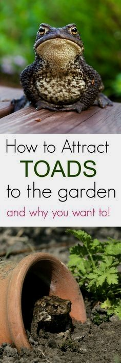 Are toads beneficial to a garden? YES! Learn how to attract toads to the garden and why you want them them. #gardeningideas
