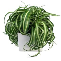 NEON PHILODENDRON LIME GREEN PLANT | Indoor Plants ...
