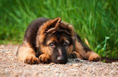'Cherokee' German Shepherd Dog