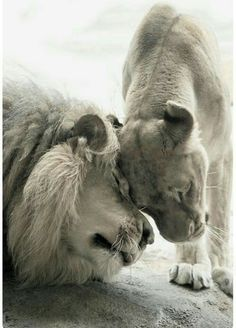 Lion and lioness exchanging affectionate head rubs. Nature Animals, Animals And Pets, Cute Animals, Beautiful Cats, Animals Beautiful, Lion Family, Lion And Lioness, Lion Love, Lion Art