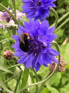 Cornflower and bee
