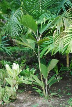 Hydriastele flabellata - native to Indonesia - grows to 1.8m