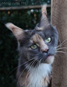 (Beautiful Maine Coon) http://www.mainecoonguide.com/male-vs-female-maine-coons/