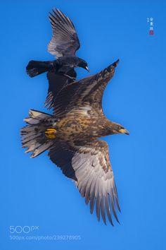 흰꼬리수리 (Ahn . b . k / seoul / korea) #Canon EOS 7D Mark II #animals #photo #nature Birds Of Prey, Eagles, Bald Eagle, Cool Photos, Seoul Korea, Canon Eos, Animals, Nature, Animales