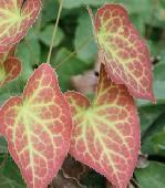 Shade Loving Plants. Bishops Hat - Epimedium × rubrum.