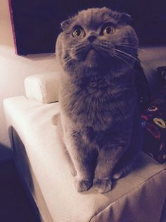 Her name is Rosie and her nickname is Meecheebomb (has her own Instagram account: @Meecheebomb). Adorable Scottish fold.