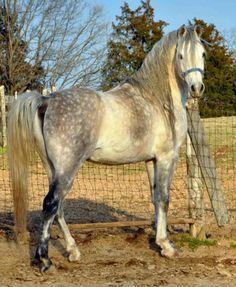 Caballo Español / Spanish Horse by Miguel J.R., via Flickr. Foto de I Love Horses.