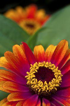 'Zowie Yellow Flame' Zinnia