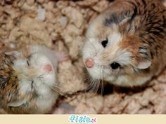 Cool and Funny Pets Robo Dwarf Hamsters, Cute Hamsters, Cute Cats, Chinchillas, Baby Animals, Funny Animals, Cute Animals, Animal Fun, Funny Pets