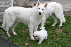 Beautiful Berger Blanc Suisse, aka the white German Shepard dog