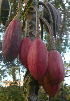 Papauyelo é um nativo da Colômbia, também é encontrada no Equador. A planta ocorre em florestas úmidas entre 1500-2300 m elevações. Pode, no entanto, tolerar alguma secura. Uma pequena árvore de pé, mas às vezes a crescer até 8 m; cinza tronco, muitas vezes ramificação na base, flores intensamente vermelhas com pecíolos vermelhos ou verdes. Os frutos são cinco angular, amarelo pálido, com tons ocasionais de roxo, vermelho ou laranja..