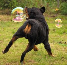 True nature of a Rottie to play and frolic with bubbles