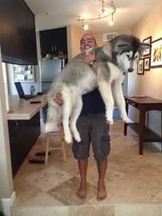Not even a year old, and already 100 pounds! truly a GIANT Alaskan Malamute! Giant Alaskan Malamute, Malamute Dog, Big Dogs, Dogs And Puppies, Big Dog Breeds, Dog Id, Dogs Of The World, Dog Photos, Beautiful Dogs