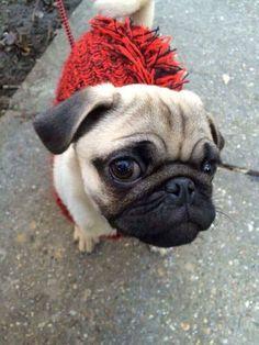 A very attentive pug