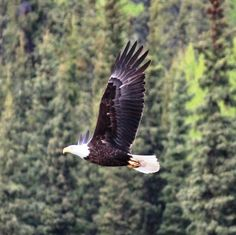 """Hope we see this. Another pinner said, """"Bald eagle by Teslin, Yukon"""""""