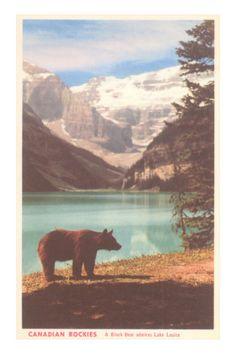 Black Bear near Lake Louise, Alberta, Canada Premium Poster