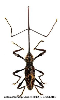 Hammatostylus gronovii Plus Weird Insects, Bugs And Insects, Spider Species, Insect Orders, Insect Tattoo, Cool Bugs, A Bug's Life, Beautiful Bugs, Insects
