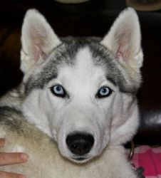 Phoebe - NEW is an adoptable Siberian Husky Dog in Raleigh, NC. Name: Phoebe Sex: Female Approx. DOB: Weight: Approx. 45 lbs. Coat Color: Gray and White Eye Color: Blue Energy Level: Medium. Personali...