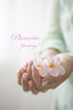 Flower plumeria#