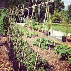 A string trellis is a simple, effective way to support a growing tomato plant. Here are 5 options to consider including in your garden. Pea Trellis, Tomato Trellis, Bamboo Trellis, Cucumber Trellis, Garden Trellis, Bamboo Poles, Garden Beds, Tips For Growing Tomatoes, Growing Tomato Plants