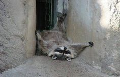 Funny, cute, wonderful animal pictures and videos. Cute Raccoon, Racoon, Raccoon Craft, Funny Cats, Funny Animals, Cute Animals, Funny Raccoons, Rocky Raccoon, Funny Animal Photos