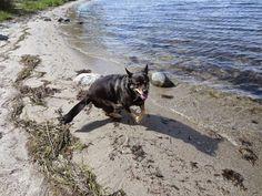 Foto - Google Foto Akita, Boston Terrier, Den, Photo And Video, Google, Animals, Animales, Animaux, Boston Terriers