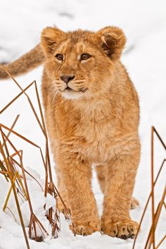 Lion cub in the snow <3