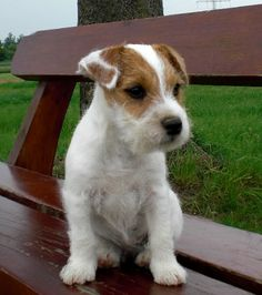 parson russell terrier. I REALLY want him! Perfect pup!