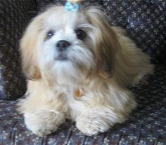 Lhasa Apso Dog Breed Information and Pictures