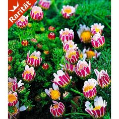 Afrikanisches Ringkörbchen, 3 Pflanzen - BALDUR-Garten GmbH