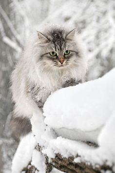 Hey! I do believe this must be a photo of one of those elusive Siberian Snow Cats….or maybe not?!?