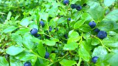 Blueberry, Finnish superfood.Choose destination forest.