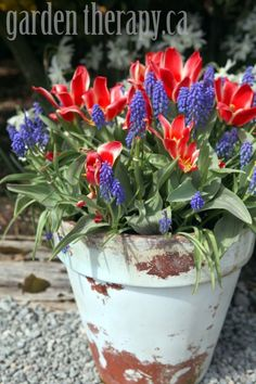 Grape Hyacinth and Tulip Planter #spring #gardentherapy