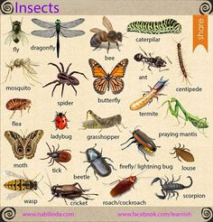 Types of insects - visual vocabulary
