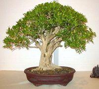 Discover an amazing art of Chinese Bonsai Murraya Paniculata, Terraria Tips, Tiny World, Jasmine, Amazing Art, Herbs, Bonsai Trees, Greenhouses, Terrariums