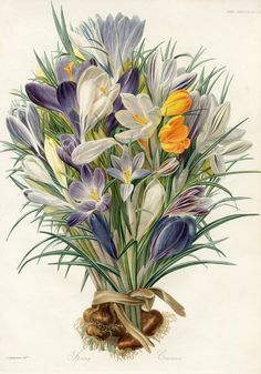 Fleur  Botanical Print. Welcome to my gardening blog http://www.facebook.com/flowerindoorgardening #crocus  #flower #bulb