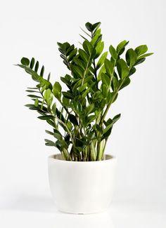 14 Hardy Houseplants That Will Survive the Winter In a Low-Light Room: ZZ Plant Luz Solar, Zz Plant, Winter Plants, Winter Garden, Decoration Plante, Inside Plants, Monstera Deliciosa, Bedroom Plants, Outdoor Plants