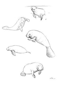 manatee illustration - Google Search