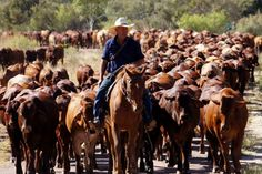 Drover and cattle on the annual Harry Redford Cattle Drive in outback Queensland.
