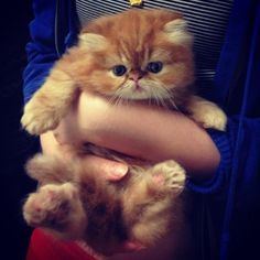 Boyfriend... Please do not deny me of this cuteness any longer! I want this kitten.