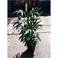 250mm Rhapis Lady Palm | Bunnings Warehouse